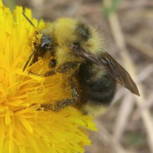 "February Club Meeting via Zoom: ""Bumble Bees of BC – Big, Bumbly and Beleaguered""  presented by Syd Cannings @ via Zoom"